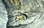 Паустовский «квакша»