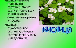 Рассказ про растение кислица, 2 класс. окружающий мир