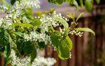 Жуковский «черёмуха цветёт»